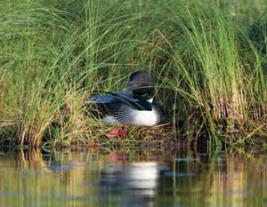 common-loon-endangered-species-in-NewHampshire-UmbagogNationalWildlifeRefuge-MaryKonchar-USFWS